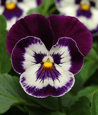 Pansy Panola Purple Face Burpee S Flores Amor Perfeito Violetas Orquideas