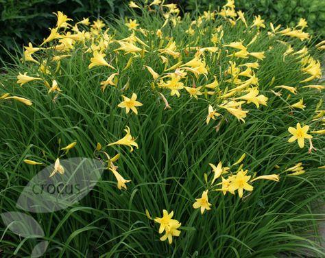 daylily Hemerocallis lilioasphodelus forms semi-evergreen clumps and custard-yellow flowers to high.
