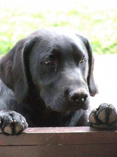 Labrador Puppies Vancouver Island The Best Labradorbreeders
