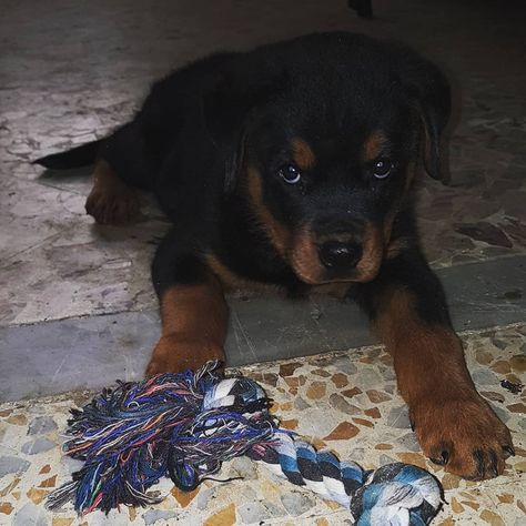 Goodmorning Dog Gifts Rottweiler Dogs