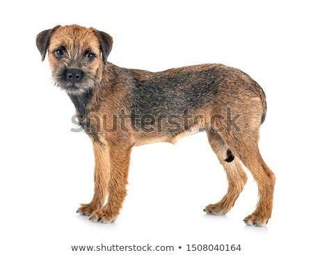 Stock Photo Young Border Terrier In Front Of White Background