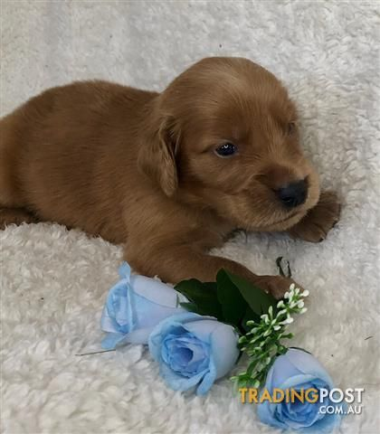 Irish Setter X Golden Retriever Puppies Delivery Available In