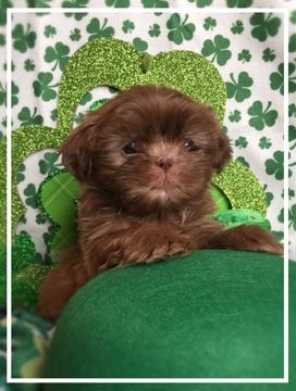 Litter Of 6 Shih Tzu Puppies For Sale In Chillicothe Oh Adn