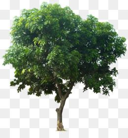 Free Download Mangifera Indica Fruit Tree Icon Download Tree Png 876 900 And 0 98 Mb Family Tree Background Tree Icon Fruit Trees