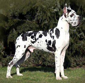 The Strongest Dogs In The World Harlequin Great Danes Great
