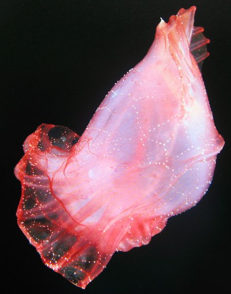 """""""Enypniastes eximia, a sea cucumber known as the deep sea Spanish dancer, 'uses a unusual defense mechanism: when attacked, its grainy skin lights up and detaches, sticking to the aggressor. Finding its face plastered with a sticky, bioluminescent mask that it cannot shake off, the would-be predator becomes the vulnerable prey.'   Image and text from """"The Deep: The Extraordinary Creatures of the Abyss by Claire Nouvian"""""""