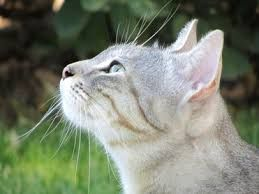 Frostheart White She Cat With Really Light Gray Stripes Has Two