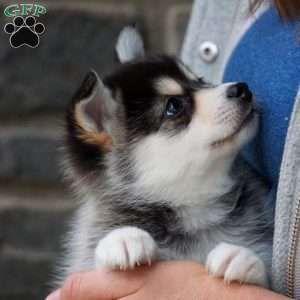 Chloe Pomsky Puppy For Sale In Ohio In 2020 Pomsky Puppies Pomsky Puppies For Sale Puppies For Sale