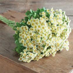 White Feverfew Daisies Wholesale Flowers Diy Wedding Flowers White Flowers Garden Diy Wedding Flowers Wholesale Flowers