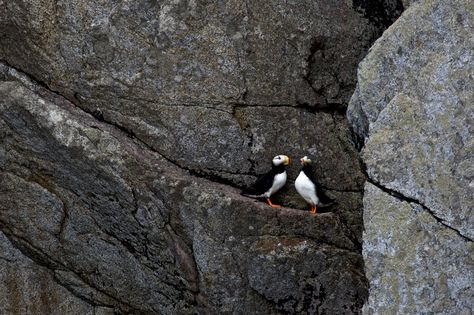 Puffins - Kenai Fjords National Park