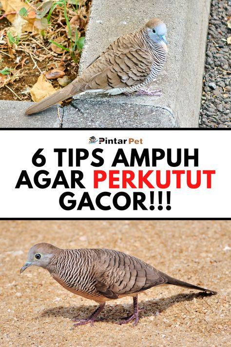 Cara Merawat Burung Perkutut Agar Gacor Burung Selimut Bulu Pengikut