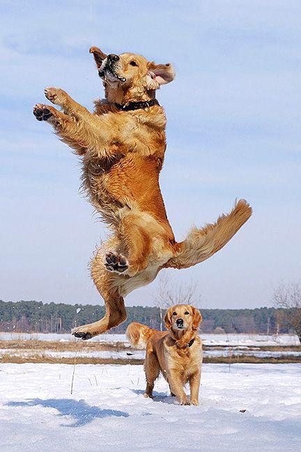 Golden Rule Always Jump For Joy Dogs Retriever