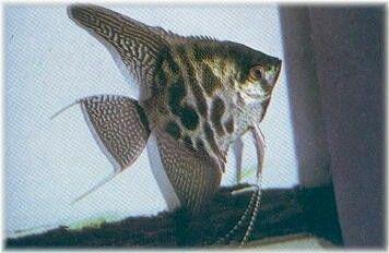Clown Angelfish Angel Fish Ocean Creatures Fish Pet