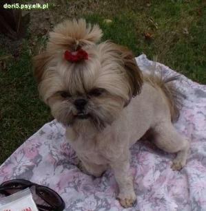 Shih Tzu Shih Tzu By Tracey Shih Tzu Puppy Shih Tzu Shih Tzu Dog