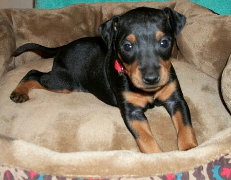 Litter Of 3 Manchester Terrier Toy Puppies For Sale In Rock Hill