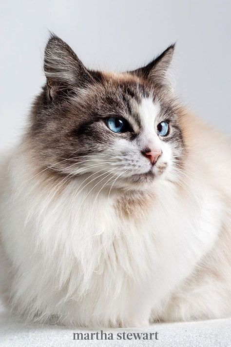 For a cuddly companion, this breed is best known for their floppy qualities. Hold one, and she will go limp in your arms hence, the nickname Ragdoll. This precious beauty can get fairly big and have medium-length fluffy fur. They're soft and cuddly, beloved for their docile and placid temperament. #marthastewart #lifestyle #petcare #pets