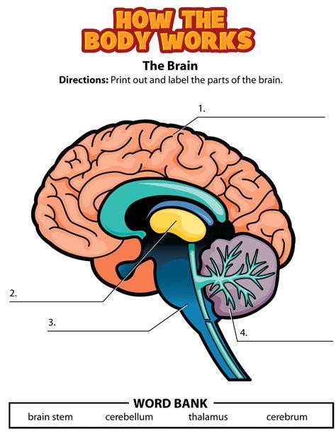 The brain, worksheet. Kidshealth.org | The brain for kids ...