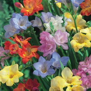Freesia Mixed Ideal For Mass Planting In Your Garden These Brightly Coloured Blooms Have A Slight Fragrance Prefers A Full Sun To Part S Garden Garden Express Plants
