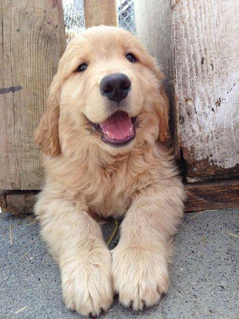 Golden Retriever Noble Loyal Companions Susseste Haustiere Niedliche Welpen Haustiere