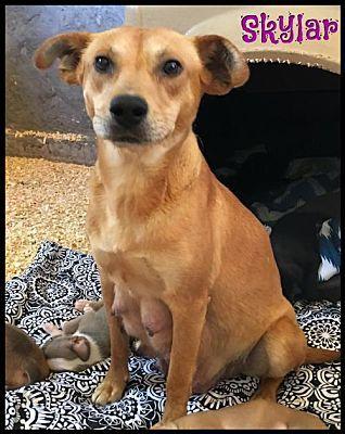 Seattle Wa Labrador Retriever Meet Skylar A Dog For Adoption Dog Adoption Pets Kitten Adoption