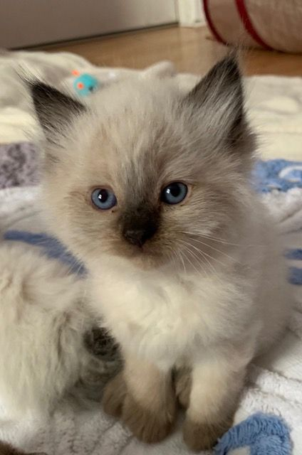 Milo Ragdoll Kitten Of The Month Floppycats In 2020 Cute Baby Cats Baby Cats Kittens Cutest
