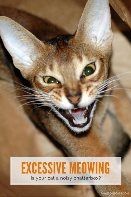 Excessive Meowing And What It Means Cat Behavior Cat Meow Meaning Cat Noises