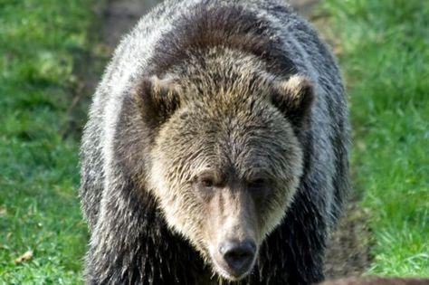 gray bear | Grizzlybären von Glendale Cove