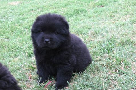 Black Chow Chow Puppies For Sale Chow Chow Puppy Chow Puppies