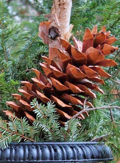 15 Sugar Pine Cones Giant Pine Cones Rare Longest Pine Cones In The World Sugar Pine Cones Pine Cone Decorations Giant Pine Cones