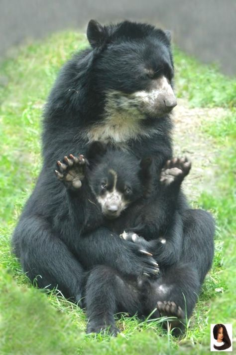 #Awww #black mom and baby #can39t #Find #guessing #I39m #Original #Source #sweet Awww so sweet :) While I can't find the original source, I'm guessing th...        Awww so sweet :) While I can't find the original source, I'm guessing they may be Spectacled Bears (as the pattern doesn't quite fit with the Asiatic black bear/Sun Bear)