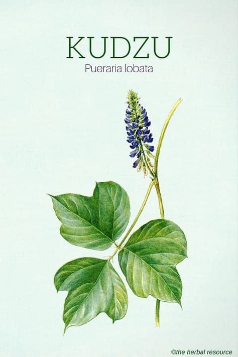 Kudzu Health Benefits Uses And Side Effects Herbalism Herbs Herbs For Health