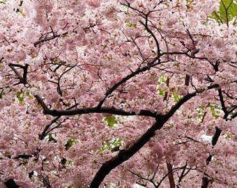 Earrings Japanese Cherry Tree Flowers Vol 2 Bright Pink Etsy Japanese Cherry Tree Cherry Blossom Art Japanese Cherry Blossom
