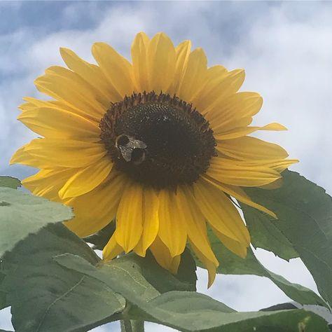 Our First Sunflower Has Popped Standing Over 7ft Tall It Also Comes With A Curtesy Bumblebee Gardeninggoals Gardening Gardenersworld Mit Bildern Garten Sonnenblumen
