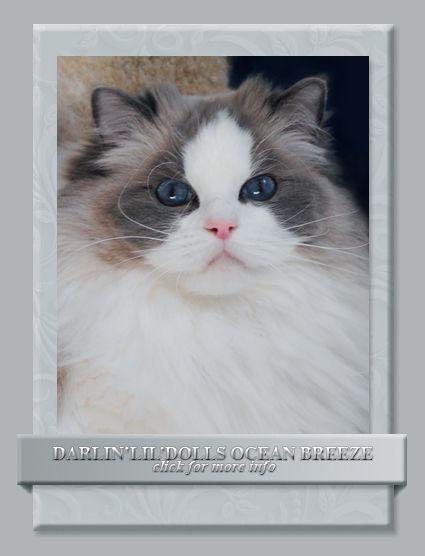 Darlin Lil Dolls Ragdoll Kitten Breeder Ottawa Ontario