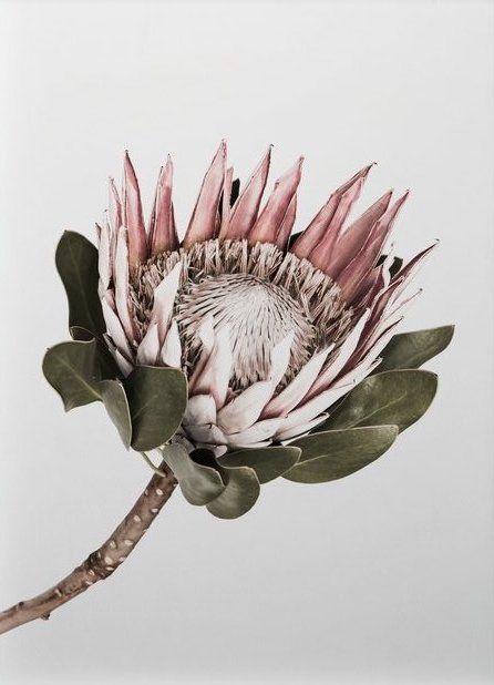 King Protea Floral Print Little Crown Interiors Protea Art Protea Flower King Protea