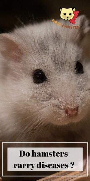All You Need To Know About Hamsters Carrying Diseases Hamster
