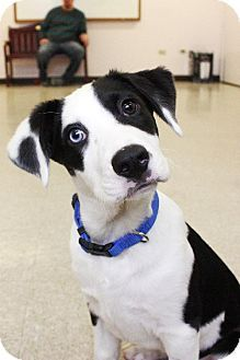 New York Ny Border Collie Mix Meet Blue Manhattan A Puppy For Adoption Pets Puppy Adoption Nyc Dogs