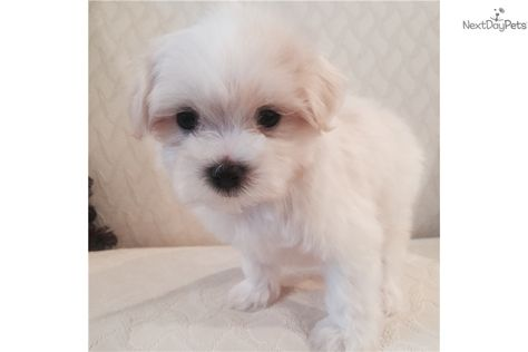 List of Pinterest maltipoo for sale alabama pictures & Pinterest
