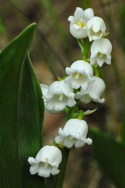 鈴蘭(學名:Convallaria majalis,英文:Lily of the Valley,法文:Muguet de mai),也稱山谷百合、風鈴草、君影草,是鈴蘭屬中的唯一種,味甜,高毒性。原產北半球溫帶,歐、亞及北美洲和中國的東北、華北地區海拔850~2500處均有野生分布。經典法語歌曲le temps du muguet即是指鈴蘭花。