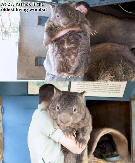 Patrick the world's oldest known Wombat!