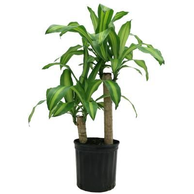 United Nursery Ficus Lyrata Plant In 9 25 In Grower Pot 23782 The Home Depot Corn Plant Indoor Avocado Tree Plants