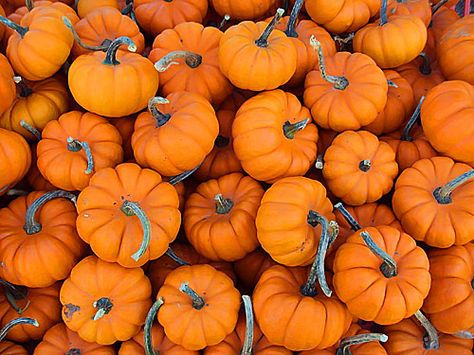 Kids love Easter egg hunts, so why not give the game a Halloween twist by hosting a mini-pumpkin hunt? For older toddlers/kids it would also be fun to decorate the pumpkins with paint, stickers, even glitter once they've been found.