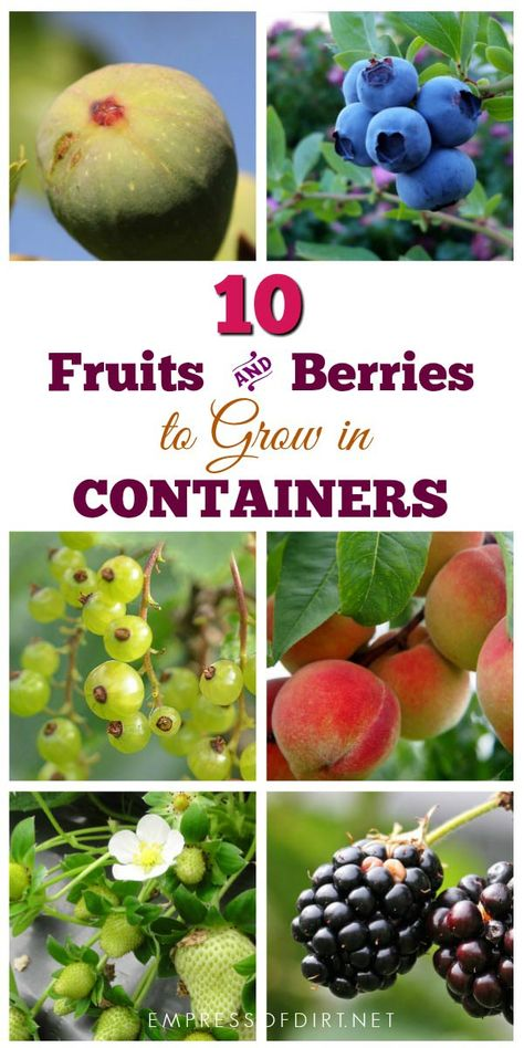 There are many fruits and berries that grow nicely in containers. If your garden space is limited or you have poor soil quality, container growing is an excellent option. # container Gardening 12 Best Fruits and Berries for Patio Containers Growing Fruit Trees, Growing Plants, Growing Vegetables, Fruits And Vegetables, Dwarf Fruit Trees, Potted Fruit Trees, Fruit Bushes, Berry Plants, Fruit Plants