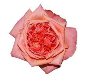 Coral Garden Rose 17 best images about roses on pinterest   romantic, jasmine vine
