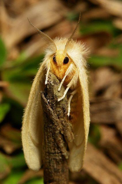 Tussock Moth Lymantriidae Picmia Insekten Tiere Spinnen Insekten