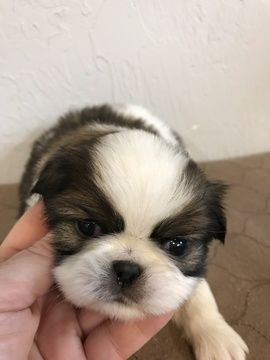 Litter Of 7 Japanese Chin Puppies For Sale In Salem Or Adn 63566