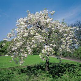 5ft Blushing Bride Cherry Blossom Tree 12l Pot Prunus Shogetsu By Frank P Matthews Cherry Blossom Tree Blossom Trees Small Gardens