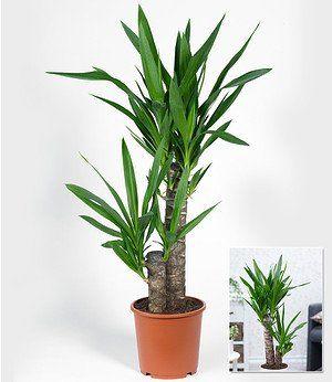 Wusstet Ihr Dass Die Yucca Palme Zu Den Spargelgewachsen Gehort Sie Ist Vor Allem In Mittelamerika Weit Verbreitet Meins Yucca Palme Pflanzen Yucca Pflanze