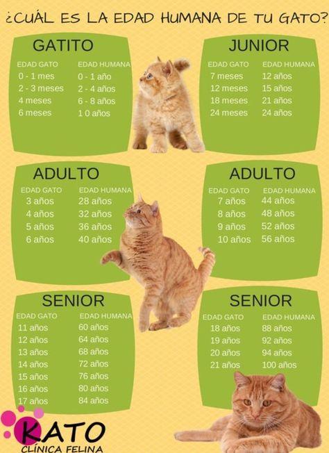 La edad humana de tu mascota varía dependiendo de en qué etapa de su vida esté:   12 Infográficos prácticos que todo amante de los gatos necesita