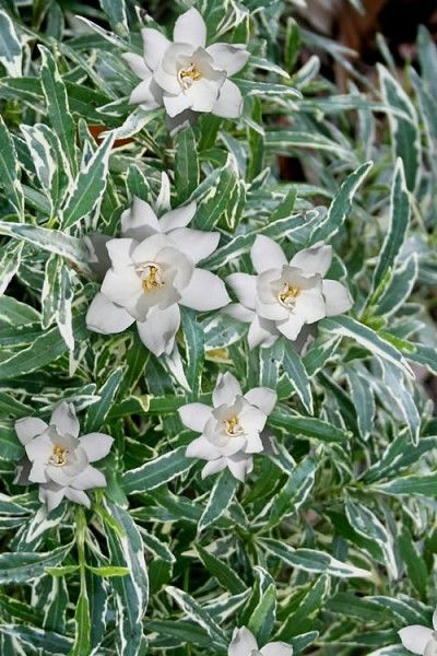 Buy Variegated Creeping Gardenia Free Shipping 1 Gallon Size Plants For Sale From Wilson Bros Gardens Online Dwarf Gardenia Plant Sale Gardenia Plant